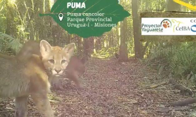 Cámaras trampa registraron imágenes de una familia de pumas en el parque Urugua-í